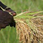 Guinée : la production rizicole est attendue à 1,6 million de tonnes en 2018/2019