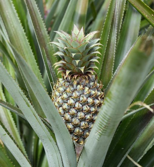 Un ananas sur pied © AFP - FRANK MAY - PICTURE ALLIANCE - DPA
